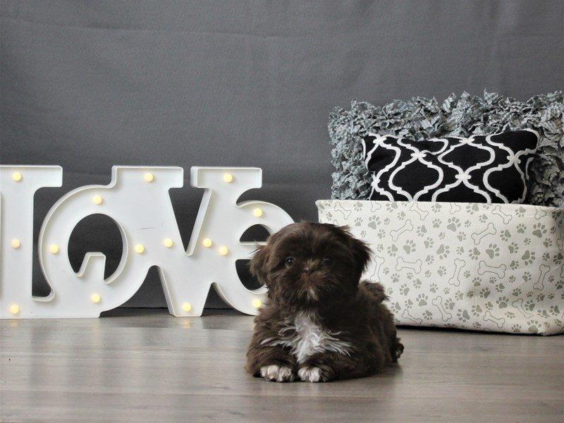 Shih Tzu-DOG-Female-Chocolate-3066438-Petland Carriage Place