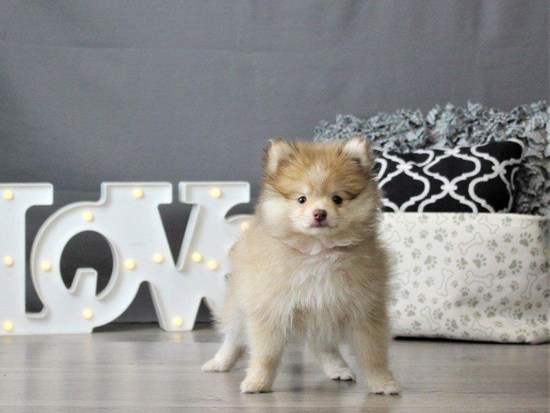 Pomeranian-DOG-Female-Chocolate-3066444-Petland Carriage Place