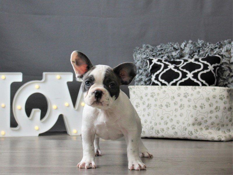 French Bulldog-DOG-Male-Blue / White-3066443-Petland Carriage Place