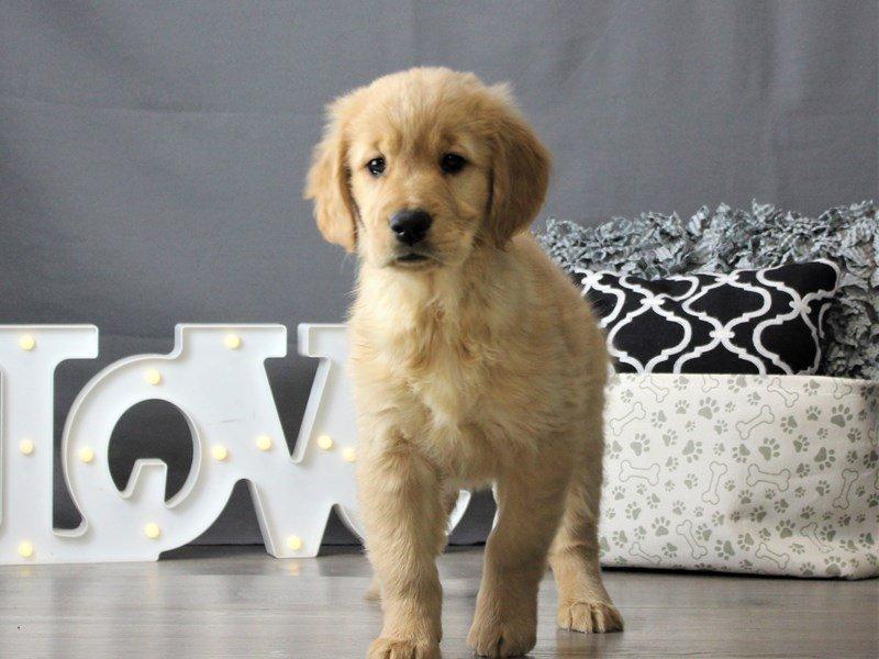 Golden Retriever-DOG-Female-Golden-3066446-Petland Carriage Place