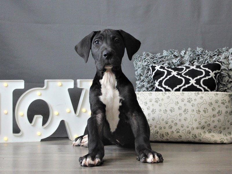 Great Dane-DOG-Male-Black-3066445-Petland Carriage Place