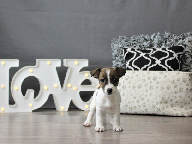 Jack Russell Terrier-DOG-Female-Brown / White-3066476-Petland Carriage Place