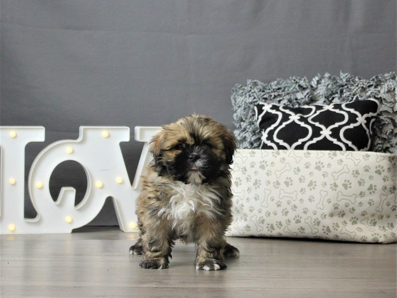 Lhasa Apso-Male-Red-3066435-Petland Carriage Place