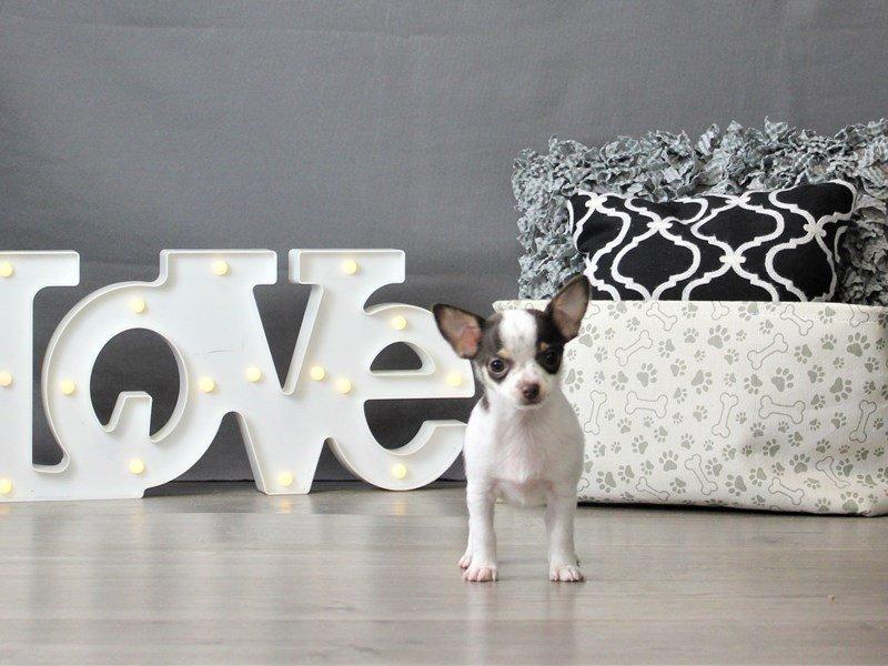 Chihuahua-DOG-Female-White-3066450-Petland Carriage Place
