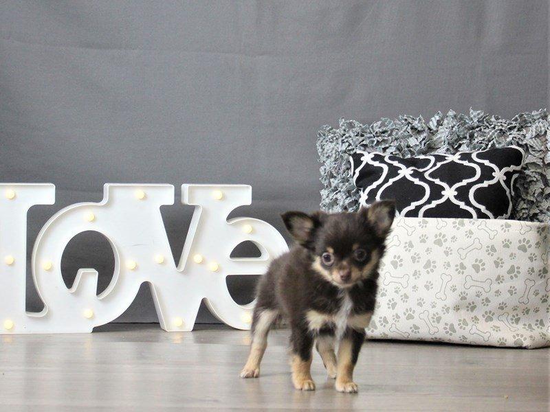 Chihuahua-DOG-Male-Chocolate-3066451-Petland Carriage Place