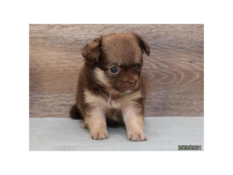 Chihuahua-DOG-Female-Chocolate-3076980-Petland Carriage Place