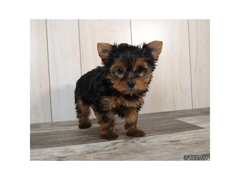 Yorkshire Terrier-DOG-Female-Black / Gold-3077090-Petland Carriage Place