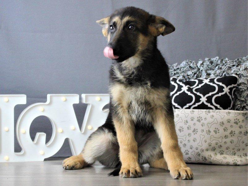 German Shepherd Dog-DOG-Female-Black / Tan-3076981-Petland Carriage Place