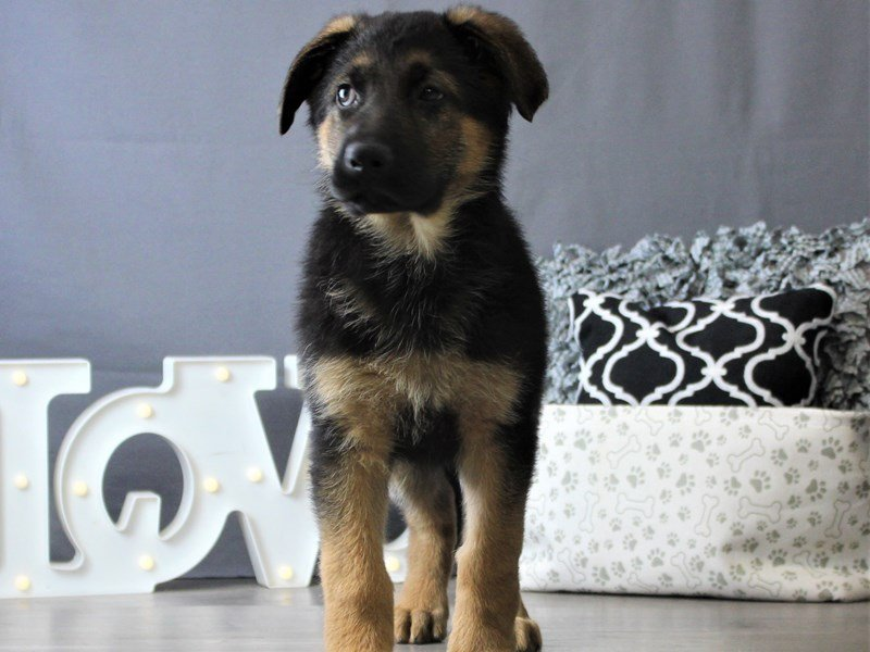 German Shepherd Dog-DOG-Male-Black / Red-3076982-Petland Carriage Place