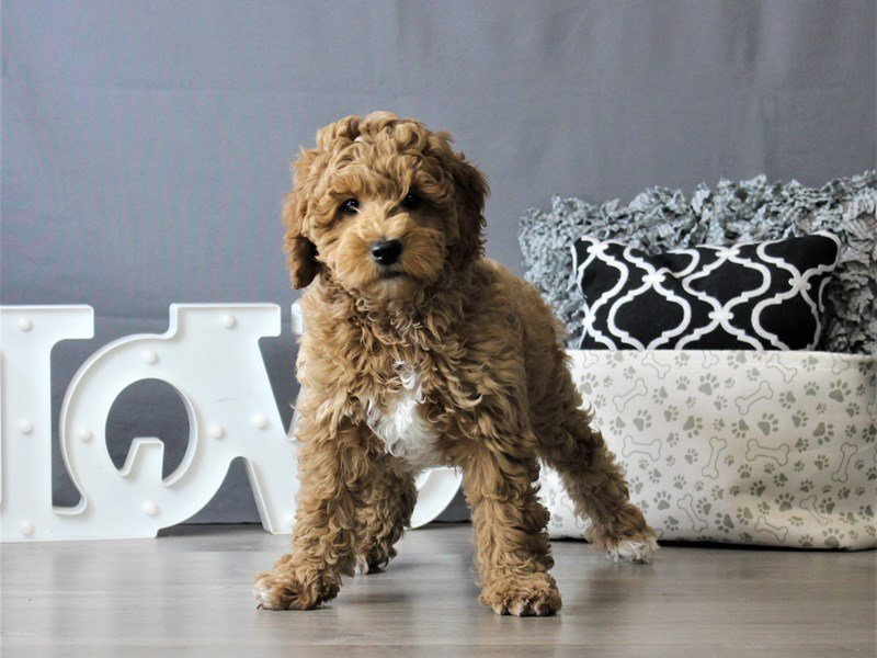 Mini Goldendoodle-DOG-Female-Red-3076986-Petland Carriage Place