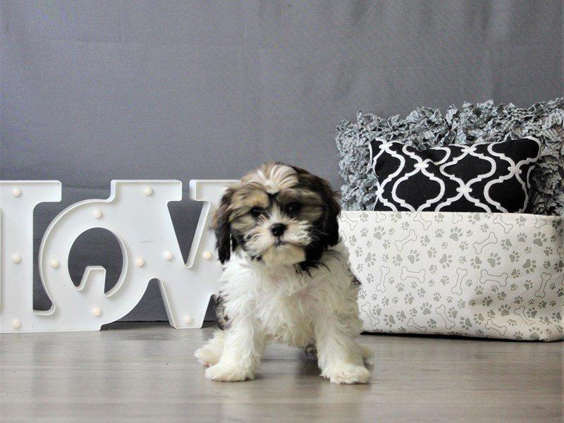 CavaTzu-DOG-Male-Sable / White-3077082-Petland Carriage Place