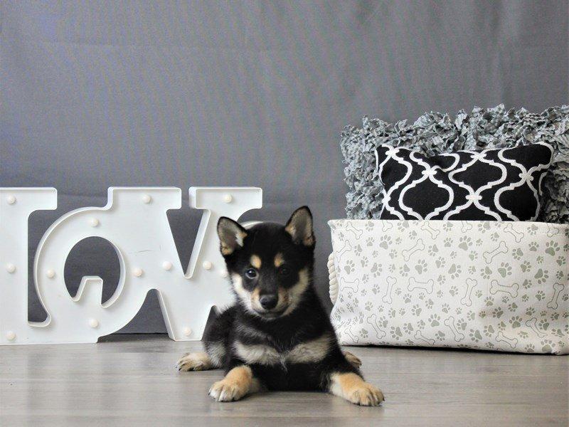 Shiba Inu-DOG-Male-Black / Tan-3076969-Petland Carriage Place