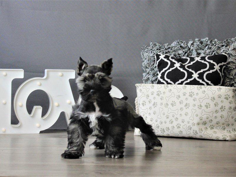 Miniature Schnauzer-DOG-Female-Salt / Pepper-3076961-Petland Carriage Place