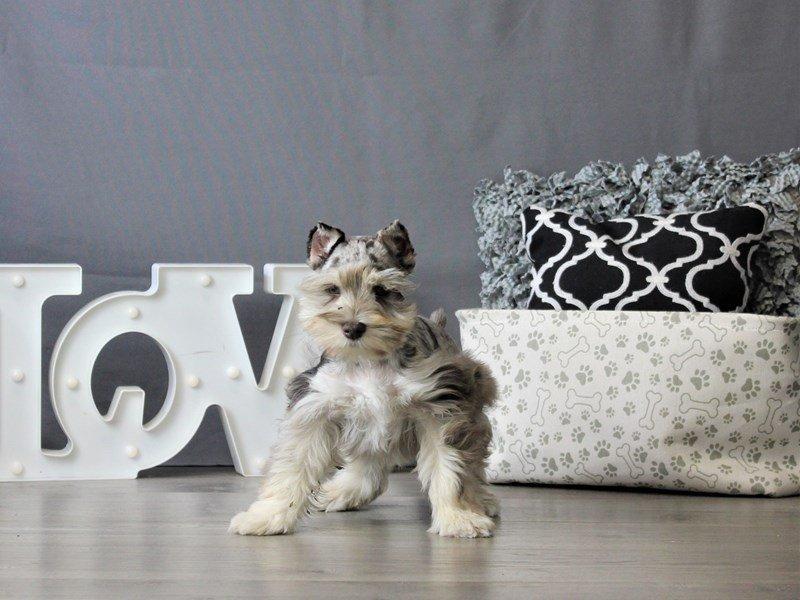 Miniature Schnauzer-DOG-Male-Chocolate Merle-3076963-Petland Carriage Place