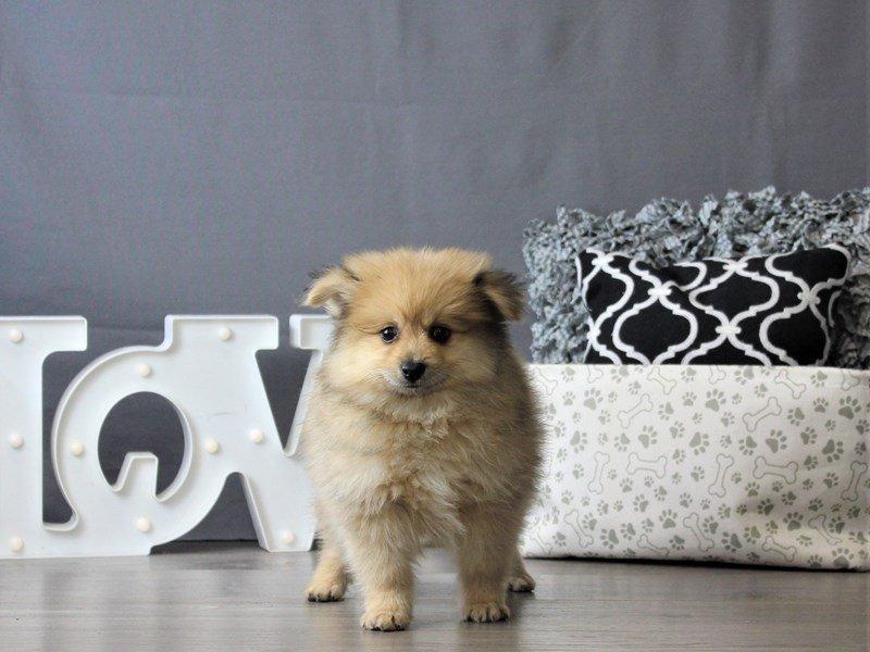 Pomeranian-DOG-Male-Red-3076951-Petland Carriage Place