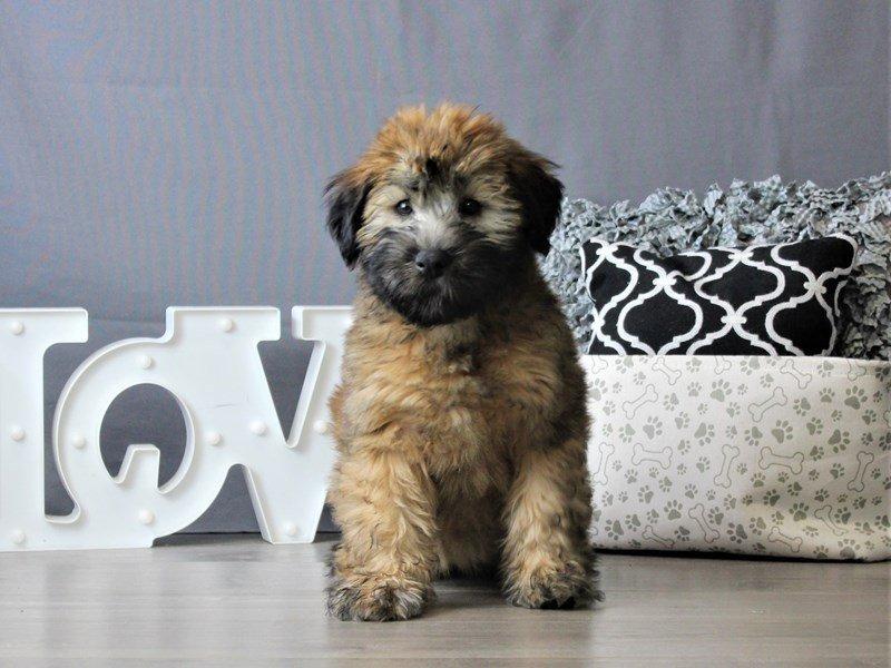 Soft Coated Wheaten Terrier-DOG-Female-Wheaten-3076977-Petland Carriage Place