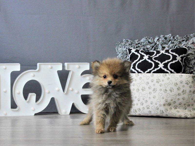 Pomeranian-DOG-Female-Black / Tan-3076965-Petland Carriage Place
