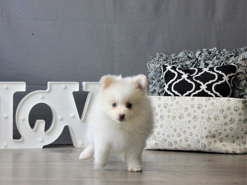 Pomeranian-DOG-Male-Cream-3077088-Petland Carriage Place