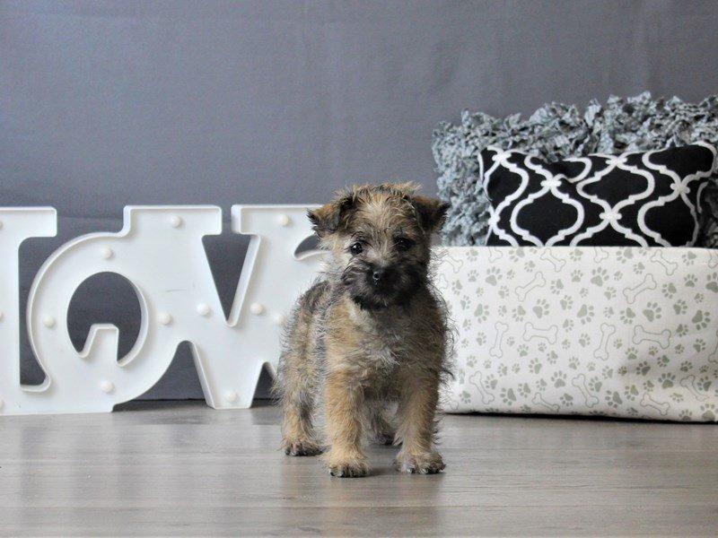Cairn Terrier-Female-Wheaten-3076985-Petland Carriage Place