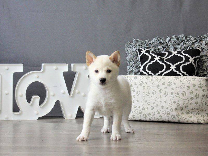 Shiba Inu-DOG-Male-Cream-3076970-Petland Carriage Place