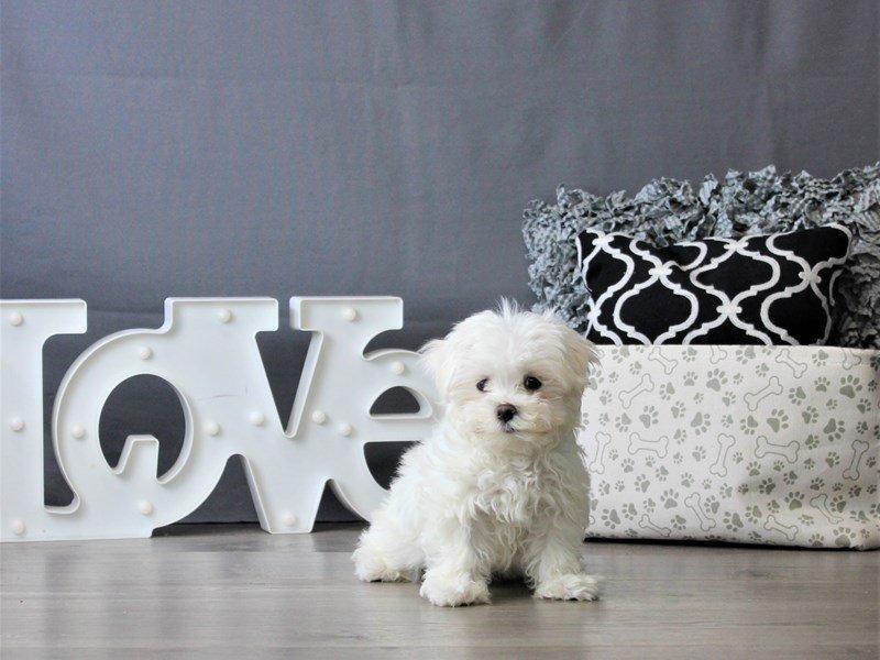 Maltese-DOG-Female-White-3076958-Petland Carriage Place