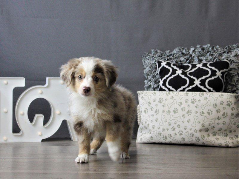 Miniature Australian Shepherd-DOG-Male-Red-3076983-Petland Carriage Place