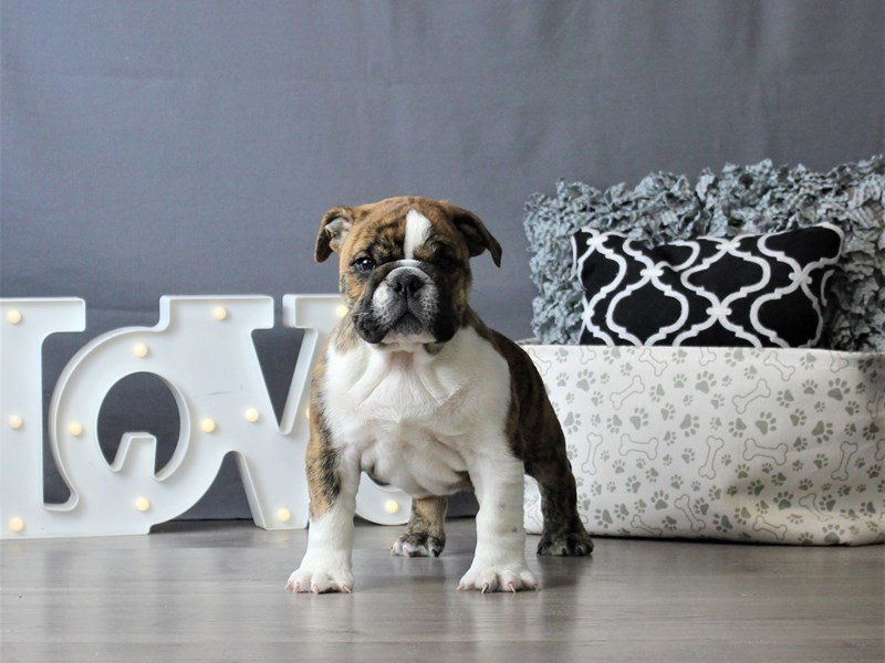 Bulldog-DOG-Male-Brindle-3076971-Petland Carriage Place