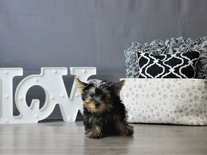 Yorkshire Terrier-DOG-Male-Black / Tan-3076978-Petland Carriage Place