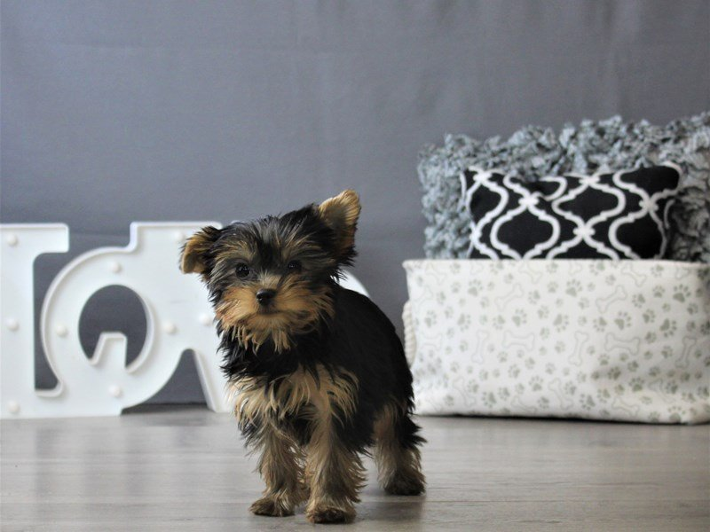 Yorkshire Terrier-DOG-Male-Black / Gold-3077091-Petland Carriage Place