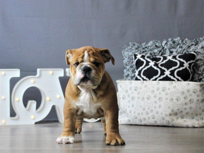 Bulldog-DOG-Male-Red-3076972-Petland Carriage Place