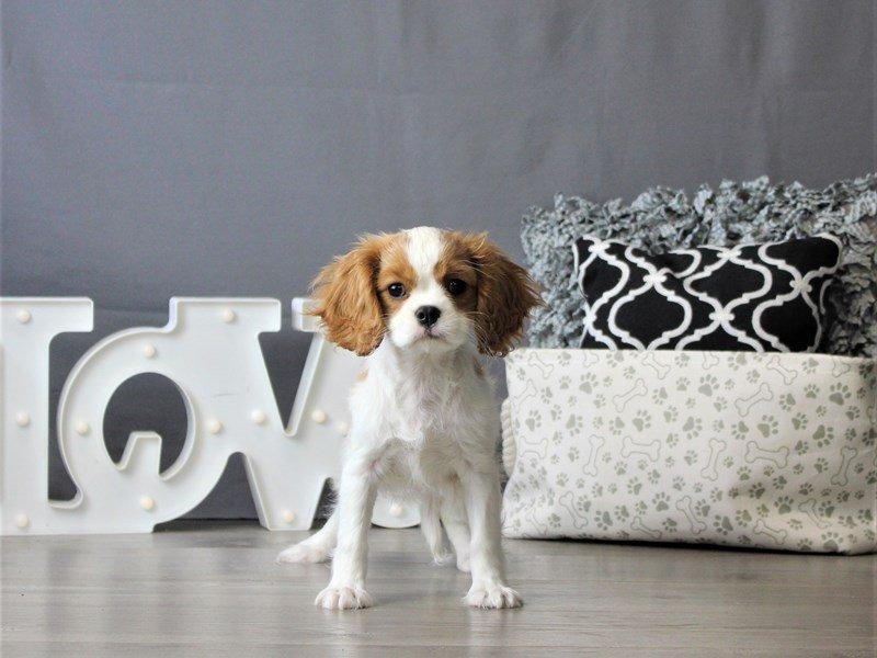 Cavalier King Charles Spaniel-DOG-Female-Blenheim-3076979-Petland Carriage Place