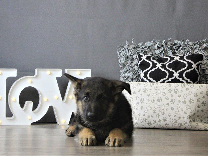 German Shepherd Dog-DOG-Male-Black / Tan-3087798-Petland Carriage Place