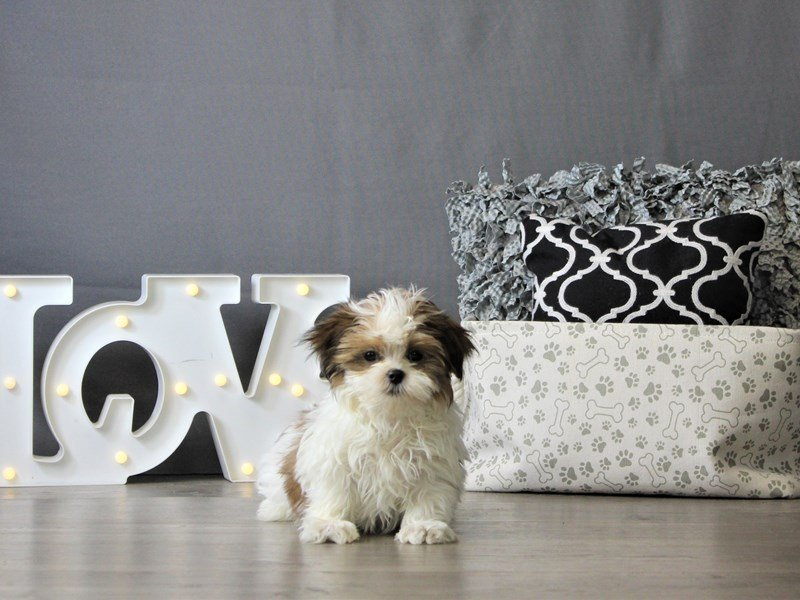 Maltese/Shih Tzu-DOG-Female-Chocolate / White-3087801-Petland Carriage Place