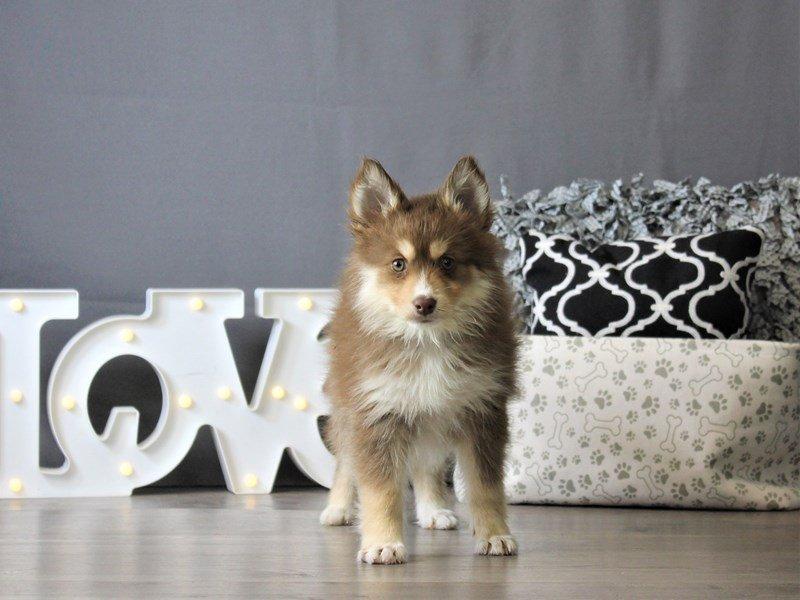 Pomsky-DOG-Male-Chocolate / White-3087807-Petland Carriage Place