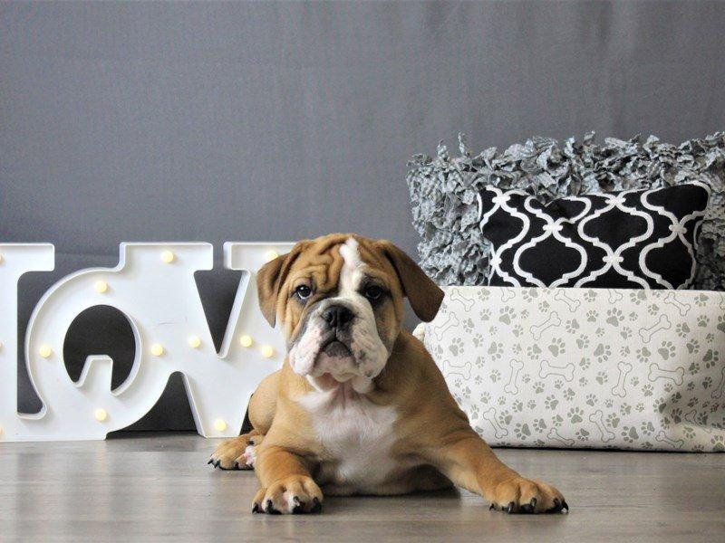 Bulldog-DOG-Male-Red / White-3088001-Petland Carriage Place