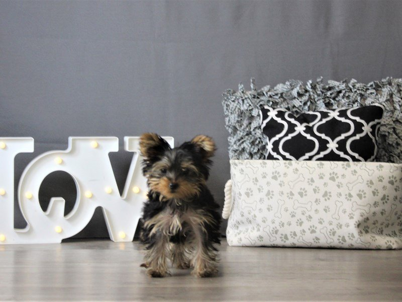 Yorkshire Terrier-DOG-Female-Black / Gold-3087961-Petland Carriage Place