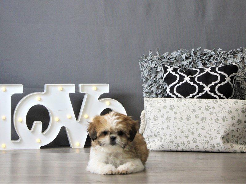 Shih Tzu-DOG-Male-Red / White-3087797-Petland Carriage Place