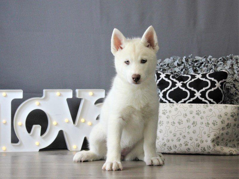 Siberian Husky-DOG-Female-White-3087800-Petland Carriage Place