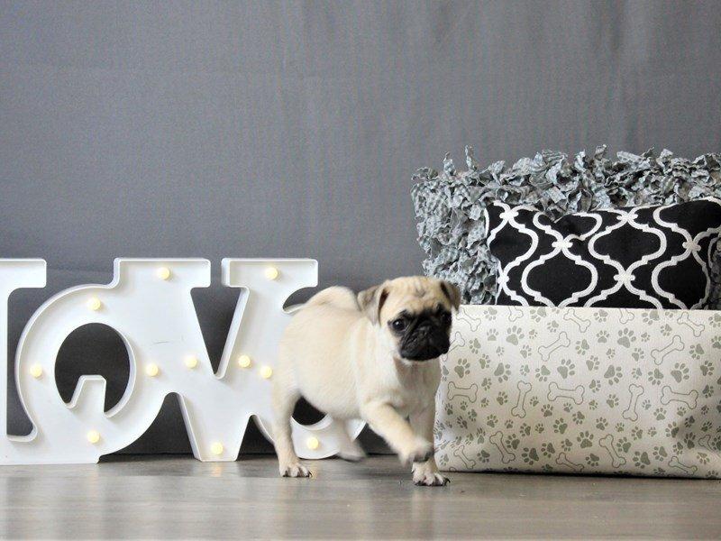 Pug-DOG-Male-Fawn-3087953-Petland Carriage Place