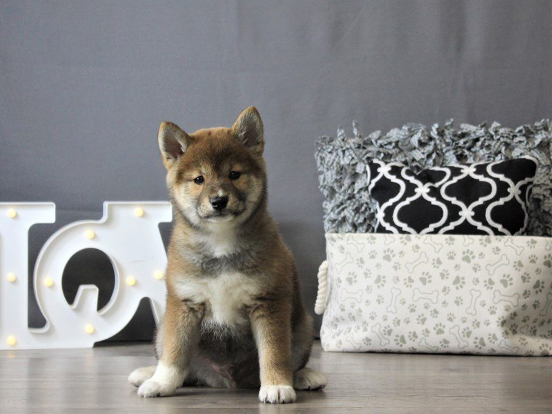 Shiba Inu-DOG-Male-Red-3087895-Petland Carriage Place