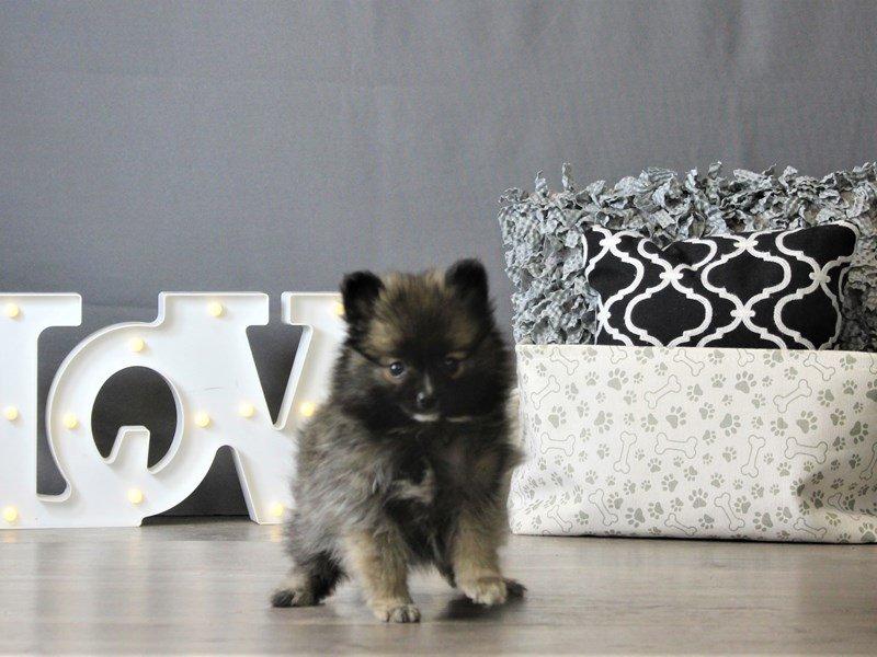 Pomeranian-DOG-Female-Dark Sable-3087794-Petland Carriage Place