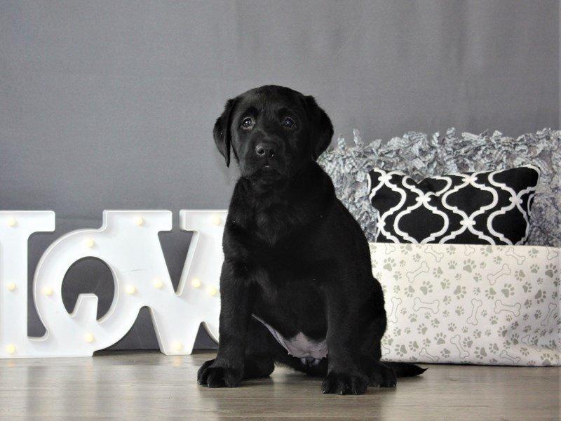 Labrador Retriever-Female-Black-3087805-Petland Carriage Place