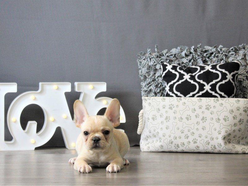 French Bulldog-DOG-Male-Cream-3087788-Petland Carriage Place