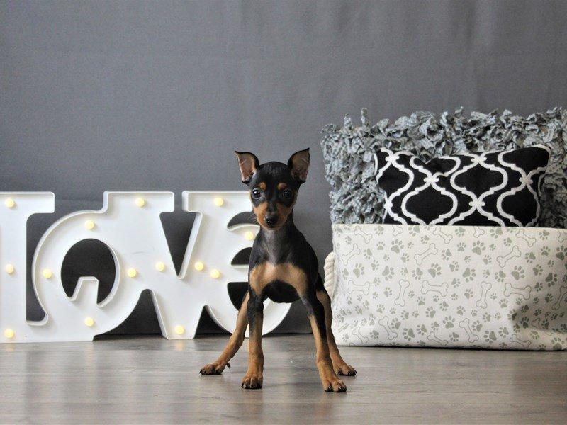 Miniature Pinscher-DOG-Female-Black / Rust-3087791-Petland Carriage Place