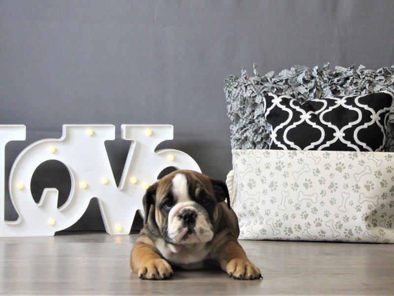 Bulldog-DOG-Female-White-3087799-Petland Carriage Place