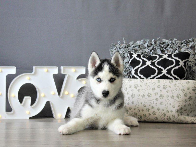 Siberian Husky-DOG-Male-Black / White-3087789-Petland Carriage Place