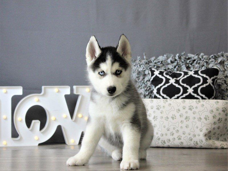 Siberian Husky-DOG-Male-Black / White-3087790-Petland Carriage Place