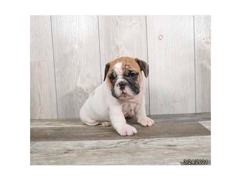 Bulldog-DOG-Male-White-3099034-Petland Carriage Place