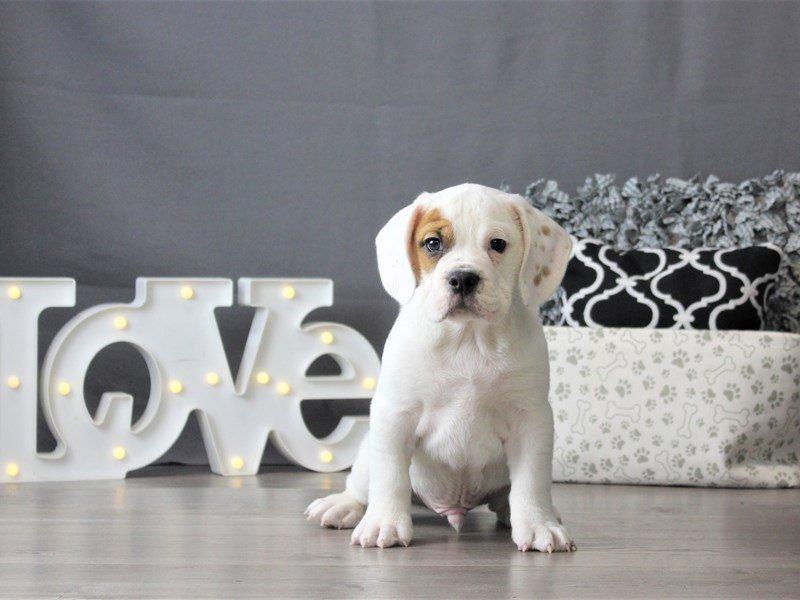 Bulldog/Bulldog-Beagle-DOG-Male-Red / White-3099042-Petland Carriage Place