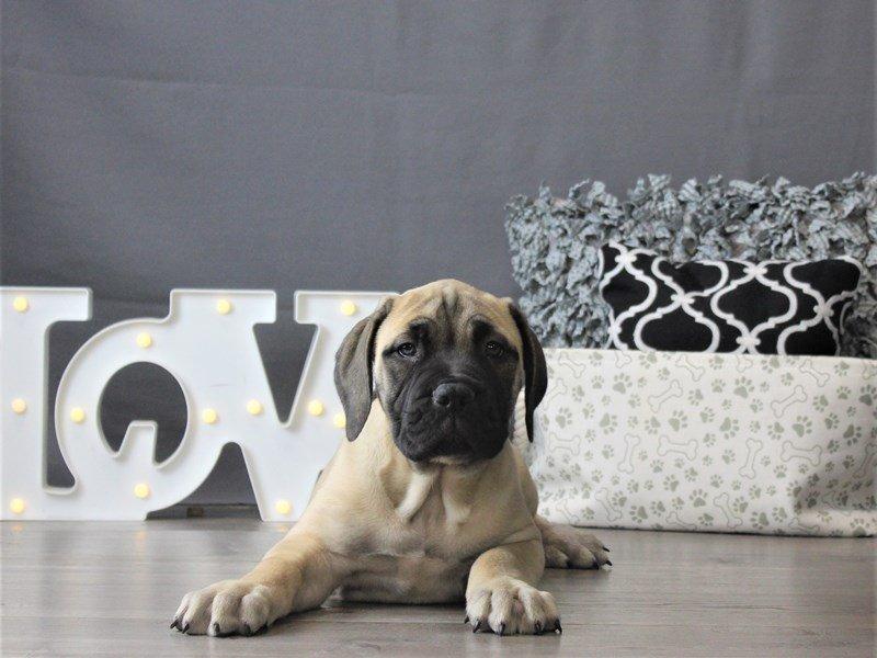 Bullmastiff-DOG-Female-Fawn-3099028-Petland Carriage Place
